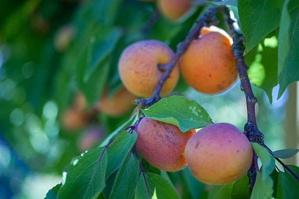 Local Apricots available in the Willamette Valley