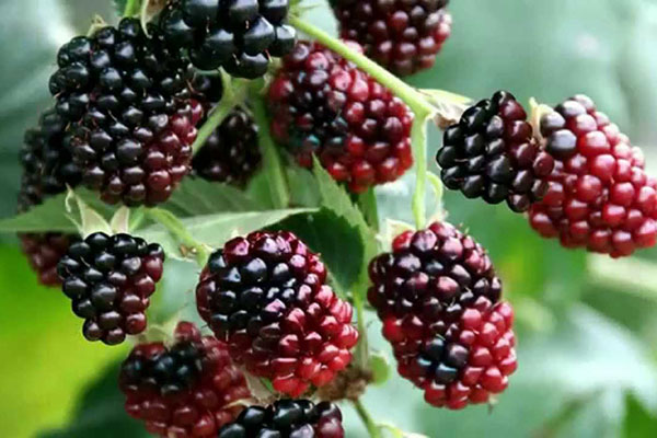 Local Boysenberries available in the Willamette Valley
