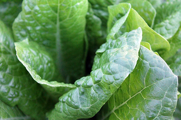 Local Lettuce available in the Willamette Valley