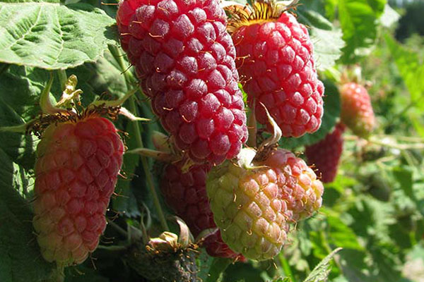 Local Loganberries available in the Willamette Valley