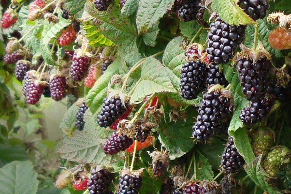 Local Marionberries available in the Willamette Valley
