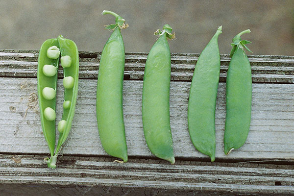 Local Peas available in the Willamette Valley
